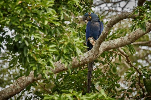 自然の生息地のヤシの木のヒヤシンスコンゴウインコ