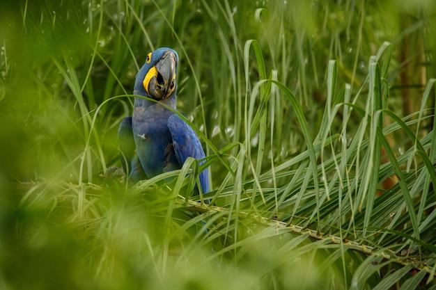 Гиацинтовый ара на пальме в естественной среде обитания