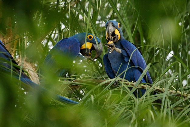 Hyacinth macaw on a palm tree in the nature habitat