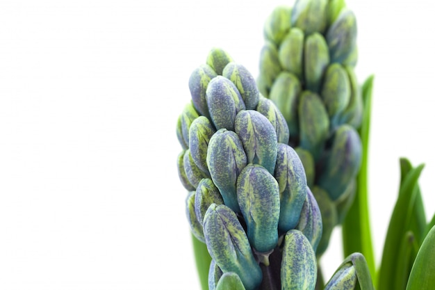 Hyacinth on white