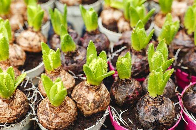 鉢に生えるヒヤシンス。農家の園芸市場で新鮮な葉を持つヒヤシンスの球根