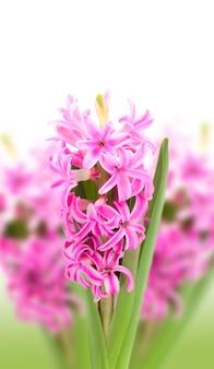 Hyacinths on white