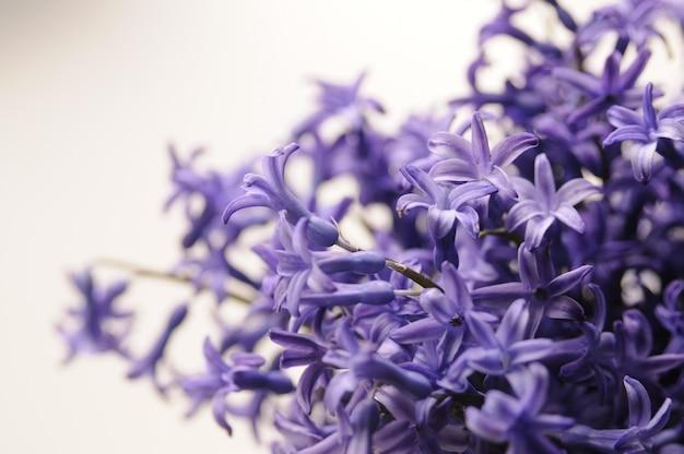 Общий голландский гиацинт (hyacinthus orientalis) закрыть. hyacinthus orientalis макроцветки, садовые гиацинтовые луковицы, фон боке. цветок гиацинт на белом