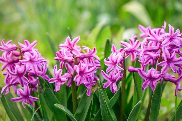 Гиацинт восточный в саду, гиацинт обыкновенный весной.