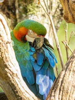 Гибридный ара. этот экземпляр был результатом скрещивания большого зеленого ара (ara ambigua) и алого ара (ara macao).