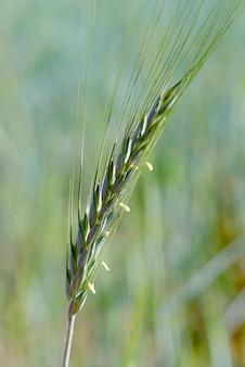 ハイブリッドライコムギ穀物耳のクローズアップ