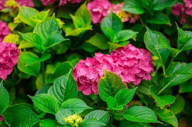 庭に咲くあじさい。