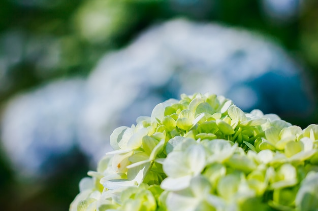 Hydrangea blooming in nature