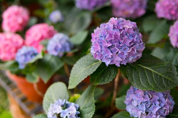 Цветок гортензии, цветок hortensia, фон.