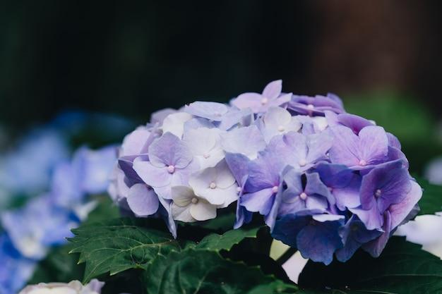 庭のアジサイ花(アジサイマクロライラ)