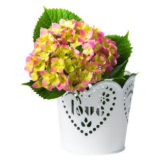 白に分離されたホワイトメタルポットのアジサイの花
