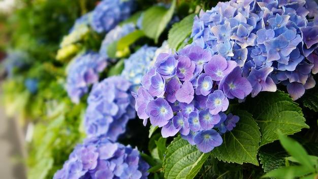 Hydrangea flower - selectie focus