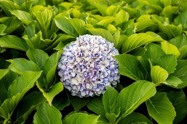 緑豊かな葉に囲まれたアジサイの花