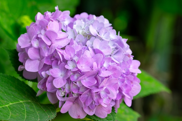 Hydrangea flowers are blooming in spring with green leaves