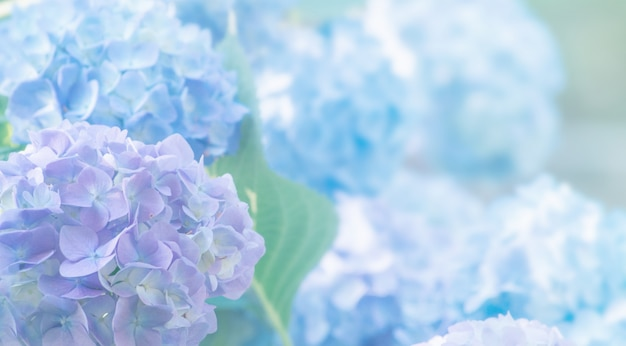 アジサイの花のクローズアップ