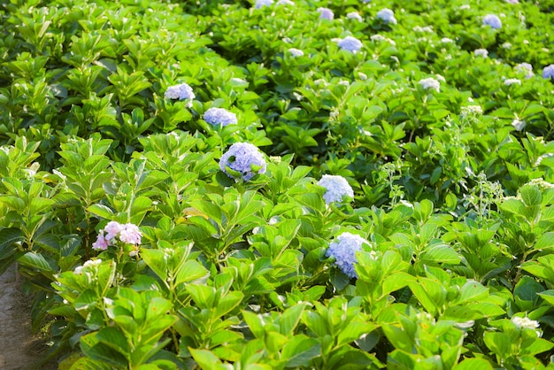 あじさい園のあじさい畑暑い日差しの下で美しい花が咲く