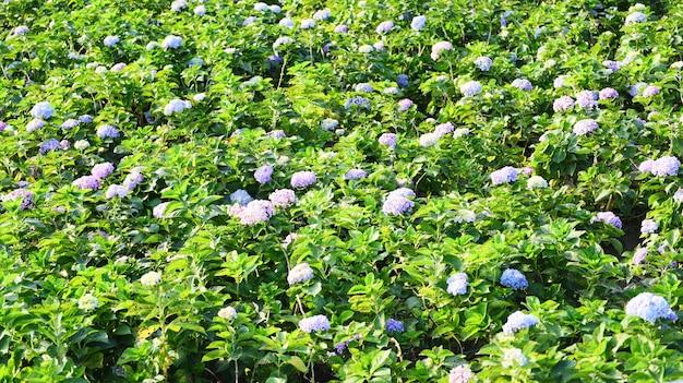 Поле цветов гортензии в саду гортензий красивый цветок цветут под жарким солнцем