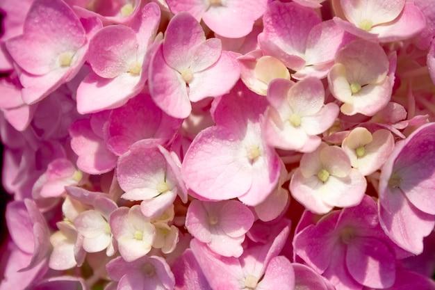 ソフトフォーカスで自然のクローズアップのアジサイの花。淡いピンクのパステルカラーの背景。