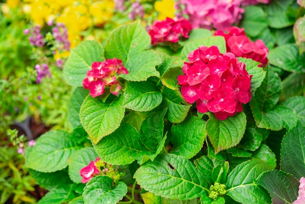Hydrangea or hortensia flower, blooming in spring and summer.