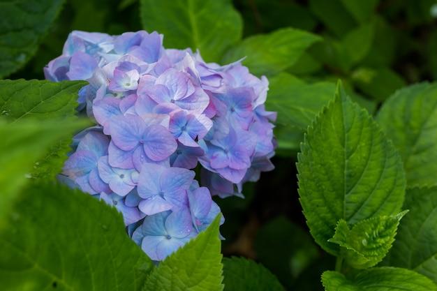 雨上がりの庭のアジサイ。梅雨の美しい青い花。水滴のあるアジサイの花の鮮やかな色