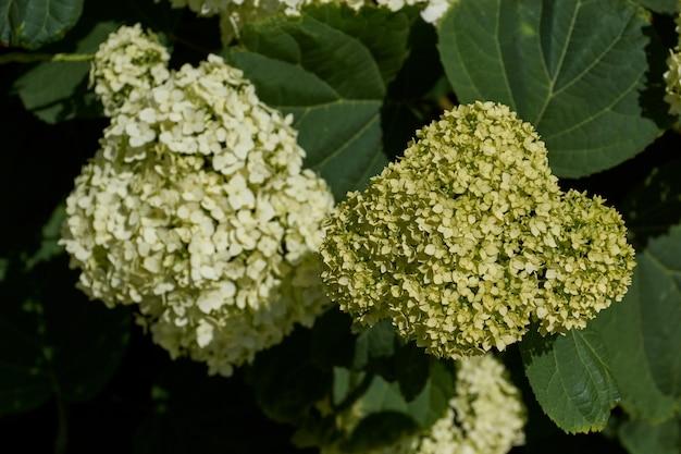 アジサイの花序(緯度アジサイ)。庭にアジサイが咲きます。