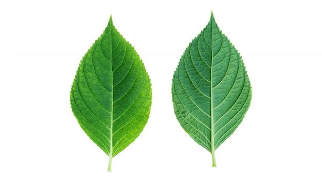 Hydrangea leaf on white background.