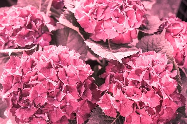 アジサイシビラ。オルテンシーの赤い花。植物園