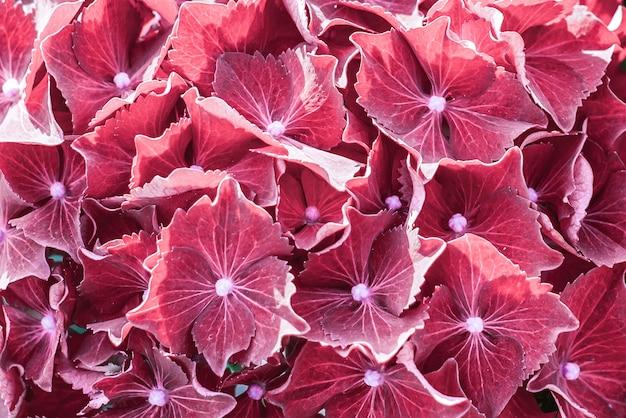 アジサイ 'シビラ'。オルテンシーの赤い花。