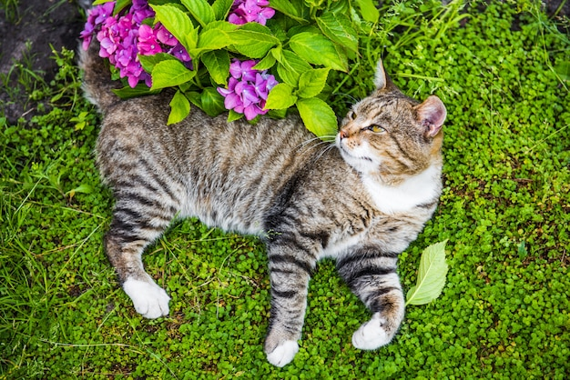 Hydrangea macrophylla and tabby cat on green grass.