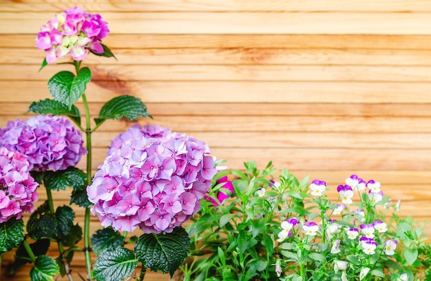 Hydrangea and pansies on background of wooden fence. hydrangea macrophylla, purple hortensia flower bush copy space. home flowers on balcony, garden veranda modern terrace. home gardening, houseplants