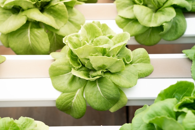 Hydroponic butterhead lettuce growing in greenhouse. healthy, diet and clean food concept.