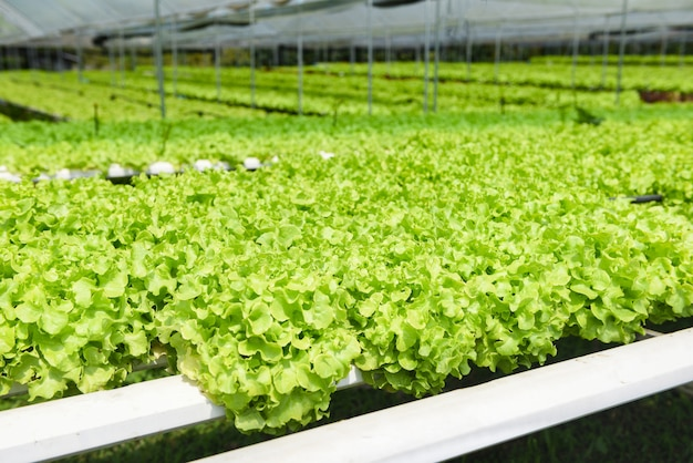 온실 유기 야채 수경 시스템에서 토양 농업없이 물에 수경 농장 샐러드 식물 정원에서 자라는 젊고 신선한 녹색 오크 양상추 샐러드