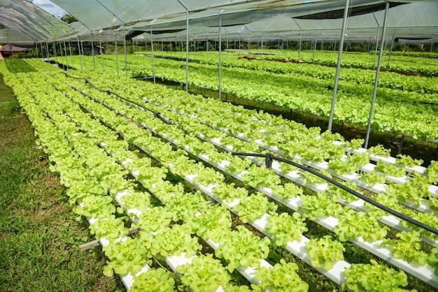 온실 유기 야채 수경 시스템 젊고 신선한 녹색 오크 양상추 샐러드에서 토양 농업없이 물에 수경 농장 샐러드 식물 성장