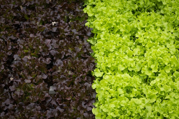 Hydroponic farming of lactuce in close up view
