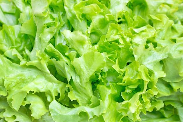 Гидропонный зеленый дубовый салат фон.