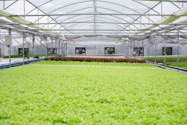 Hydroponic of lettuce farm growing in greenhouse for export to the market. interior of the farm hydroponics. vegetables farm in hydroponics.