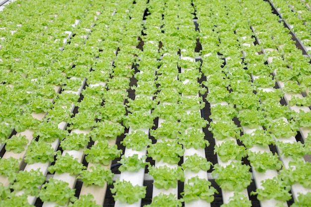 시장에 수출하기 위해 온실에서 자라는 양상추 농장의 수경재배. 농장 수경법의 내부입니다. 수경재배 야채농장.