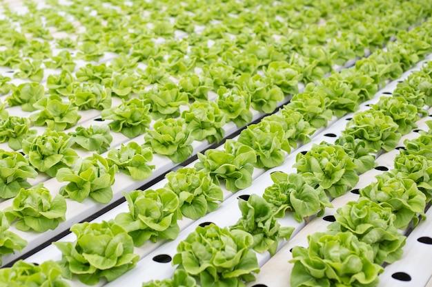 Гидропоника салата фермы растет в теплице.
