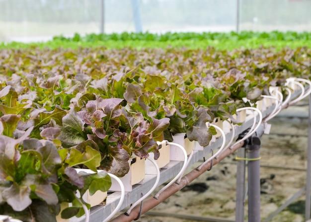Hydroponic red oak leaf lettuce vegetables plantation in aquaponics system