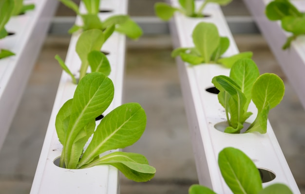 Hydroponic vegetables plantation