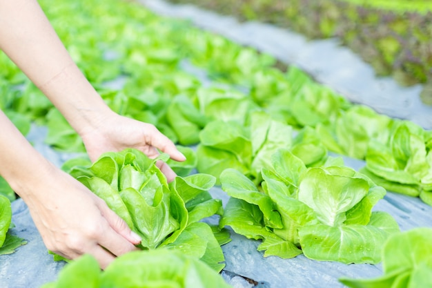 Hydroponic vegetables salad in caring hands at salad farm.