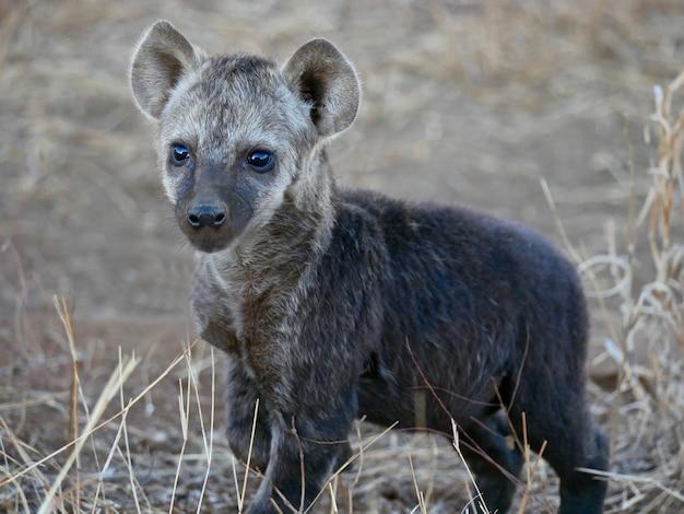 Детеныш гиены в национальном парке крюгера
