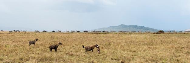 Hyena holding a prey, serengeti, tanzania, africa