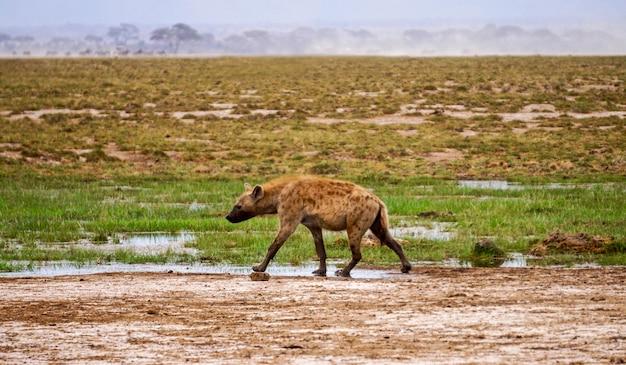 Гиена в национальном парке амбосели - кения