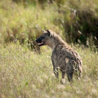 Гиена в национальном парке серенгети