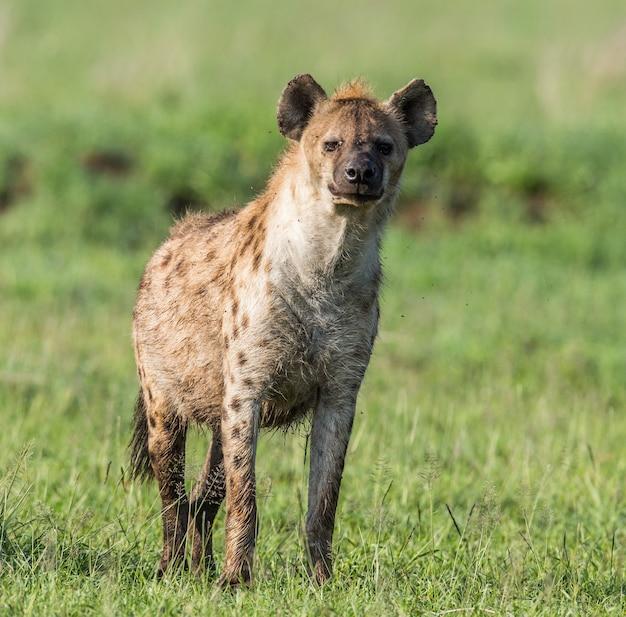 Гиена в саванне. африка. танзания. национальный парк серенгети.