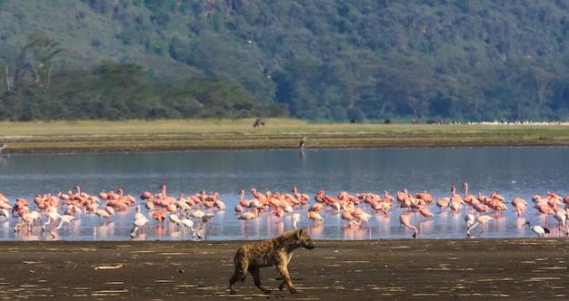 ハイエナはフラミンゴを探しています。ナクル湖、ケニア