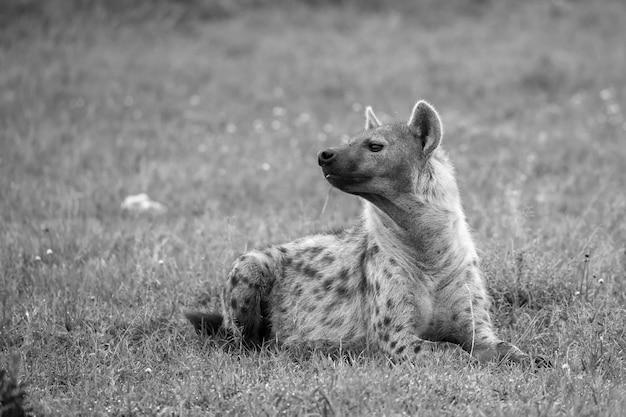 ハイエナはケニアのサバンナの芝生に横たわっています