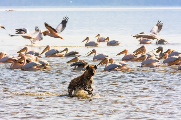 ケニアのナクル湖の岸にあるハイエナ