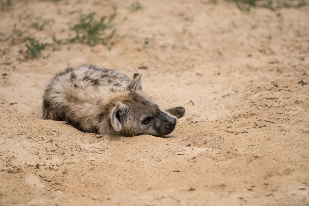 Hyena in the sand